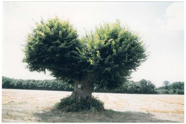 Tilleul grandes feuilles arbre remarquable sur la - Tilleul a grandes feuilles ...