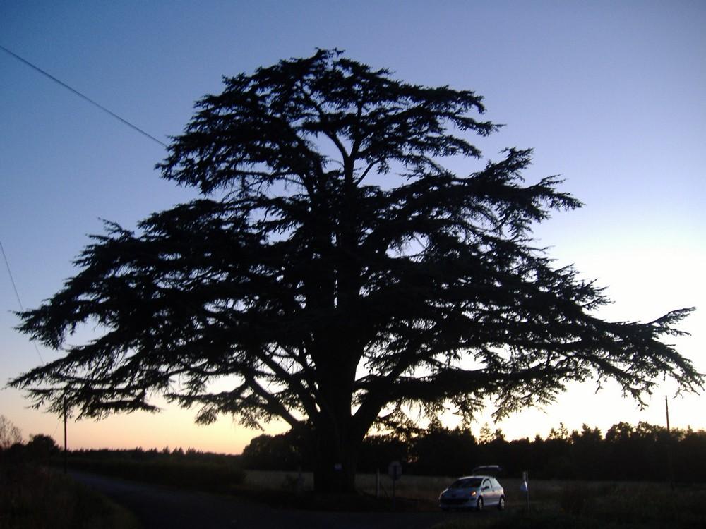 C dre du liban arbre remarquable sur la commune de mar ay - Cedre bleu du liban ...