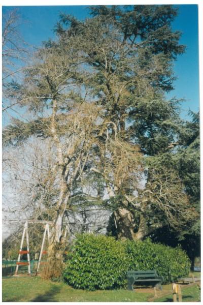 arbres famille des frênes