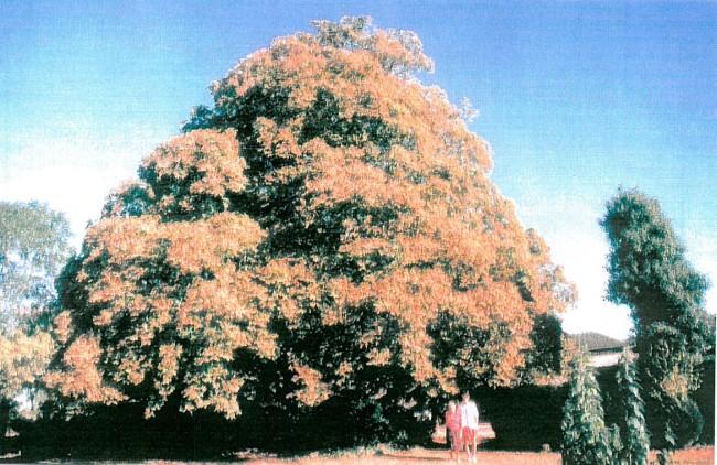 marronnier d 39 inde arbre remarquable sur la commune de couarde la. Black Bedroom Furniture Sets. Home Design Ideas